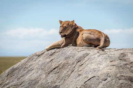 Lioness lying on sunlit rock on savannah