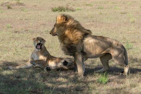 La leonessa giace ruggendo al maschio dopo l'accoppiamento Archivio Fotografico