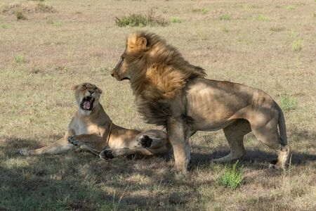 Lioness lies roaring at male after mating Stock Photo