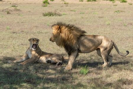Lioness lies snarling at male after mating