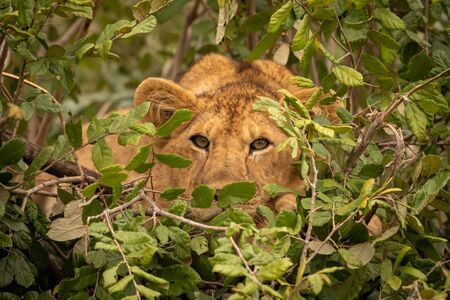Lioness peeps out from bush towards camera