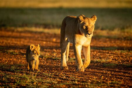 Lioness walking down gravel airstrip with cub