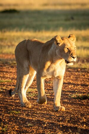 Lioness walks down airstrip in dawn light