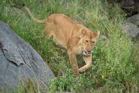 Lioness walks down grassy hillside past rocks Standard-Bild - 139790866