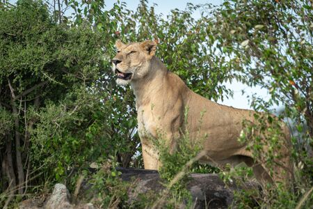 Lioness standing on rock among leafy bushes
