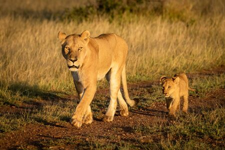 Lioness walks along dirt track with cub