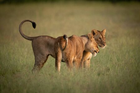 Lioness stands nuzzling another in long grass