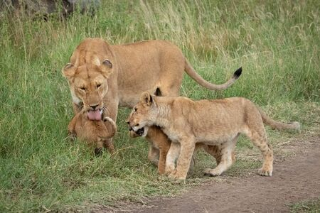 Lioness stands licking cub beside two others