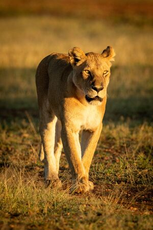 Lioness walks down track in dawn light