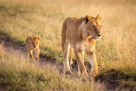 Lioness walking down sandy track with cub