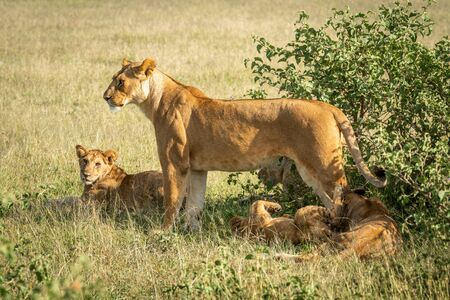 Lioness stands with cubs lying under bush 版權商用圖片