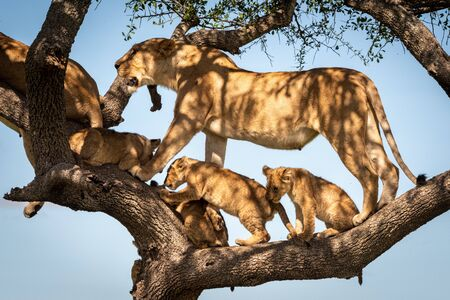Lioness stands with four cubs in tree
