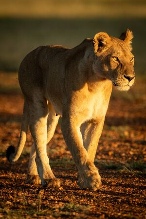 Lioness walks on airstrip in dawn light
