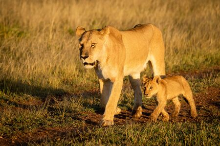 Lioness walks down dirt track by cub