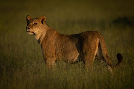 Lioness stands in grass in golden hour