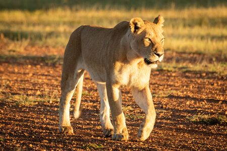 Lioness walks along airstrip in dawn light