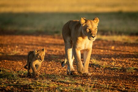 Lioness walking on gravel airstrip by cub