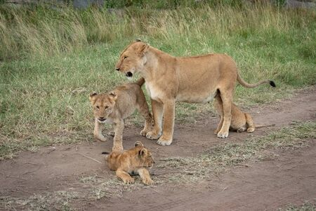 Lioness stands with three cubs on track Standard-Bild - 139790890