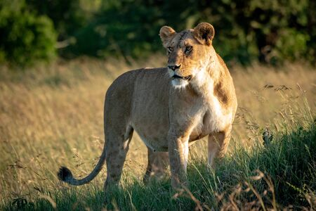 Lioness stands on grassy mound turning head