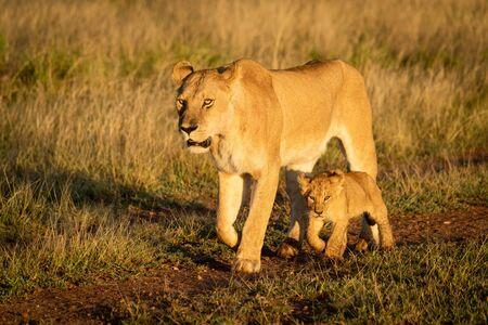 Lioness walks down dirt track beside cub Standard-Bild - 139790895