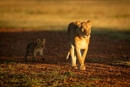 Lioness walking on gravel airstrip with cub