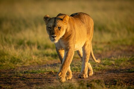 Lioness walks on track with head down