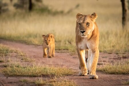 Lioness walks on sandy track with cub