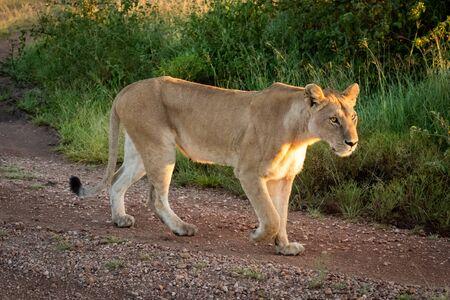 Lioness walks along gravel track beside grass