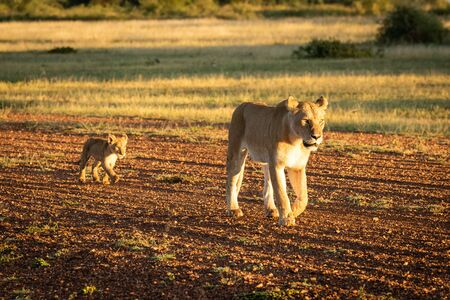 Lioness walks down airstrip followed by cub