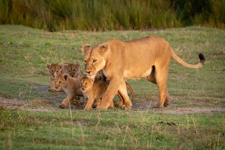 Lioness walks on grass with five cubs 版權商用圖片