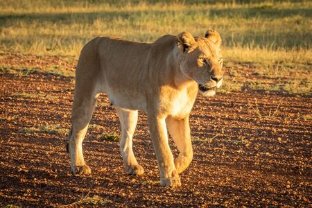 Lioness walks down airstrip during golden hour