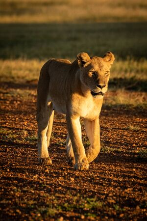 Lioness walks on gravel airstrip at dawn