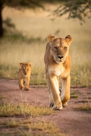 Lioness walks down sandy track with cub