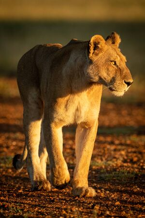 Lioness walking down airstrip in dawn light