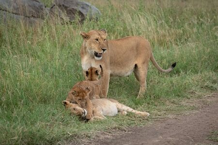 Lioness stands in grass with three cubs