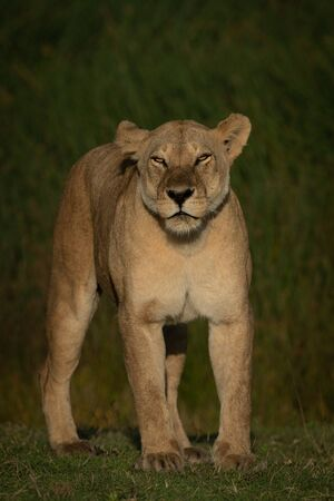 Lioness stands facing camera with half-closed eyes Standard-Bild - 140095165