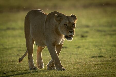 Lioness walks on grassy plain towards camera Standard-Bild - 140095166
