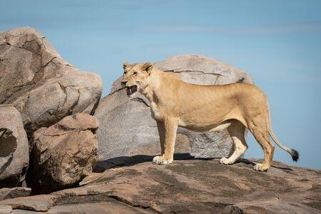 Lioness stands on sunny kopje facing left Standard-Bild - 140095170