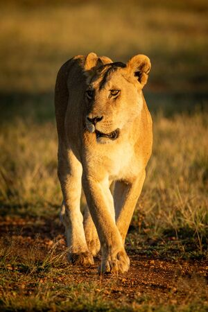 Lioness walks along track in dawn light