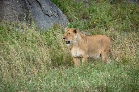 Lioness stands looking left in long grass