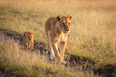 Lioness walking along sandy track with cub