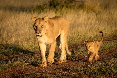 Lioness walks down gravel track with cub