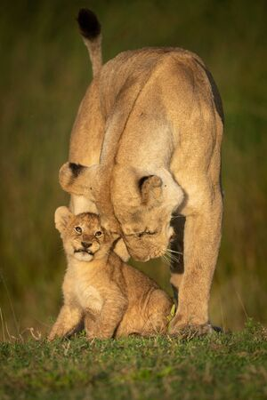 Lioness stands nuzzling cub in golden light 版權商用圖片