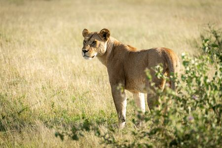 Lioness stands scanning horizon by leafy bush