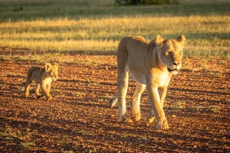 Lioness walks along airstrip followed by cub