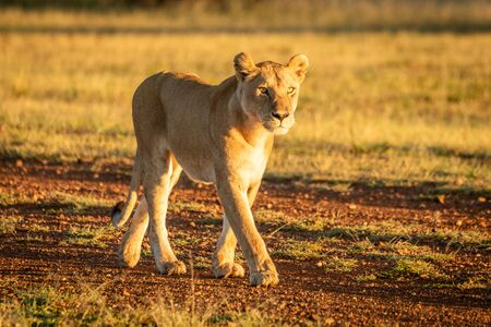 Lioness walking at dawn on gravel airstrip