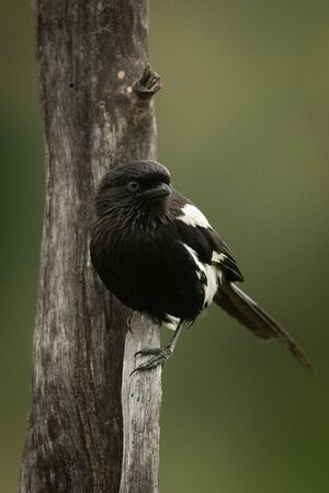 Magpie shrike clinging to vertical dead branch