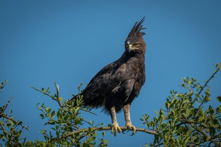 Long-crested eagle perched on branch looking down
