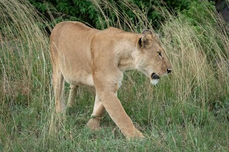Lioness walks through long grass by bushes