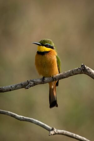 Little bee-eater perched on branch facing left